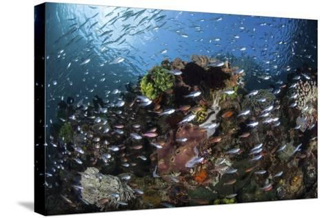 A Colorful Coral Reef Is Covered by Fish in Indonesia-Stocktrek Images-Stretched Canvas Print