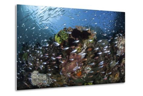 A Colorful Coral Reef Is Covered by Fish in Indonesia-Stocktrek Images-Metal Print