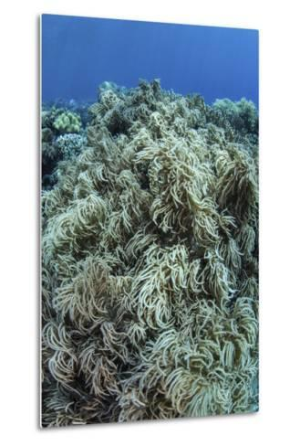 Colonies of Soft Coral Thrive on a Reef Near Sulawesi, Indonesia-Stocktrek Images-Metal Print