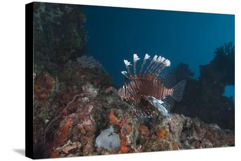 A Large Common Lionfish Swimming at Beqa Lagoon, Fiji-Stocktrek Images-Stretched Canvas Print