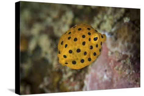 A Juvenile Yellow Boxfish Swims Above the Seafloor-Stocktrek Images-Stretched Canvas Print