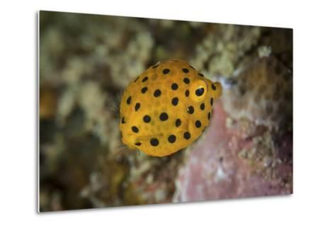 A Juvenile Yellow Boxfish Swims Above the Seafloor-Stocktrek Images-Metal Print