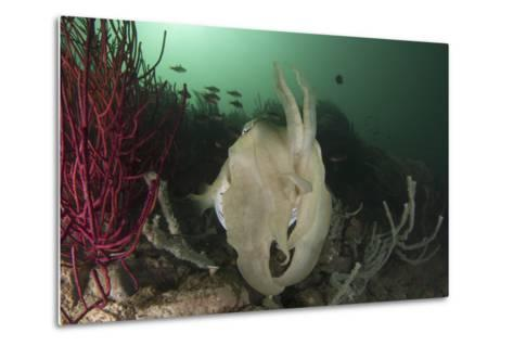 Full Body View of a Broadclub Cuttlefish Amongst a Reef-Stocktrek Images-Metal Print