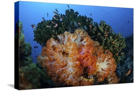 A Beautiful Cluster of Soft Coral Colonies on a Coral Reef in Indonesia-Stocktrek Images-Stretched Canvas Print