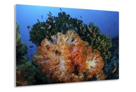 A Beautiful Cluster of Soft Coral Colonies on a Coral Reef in Indonesia-Stocktrek Images-Metal Print