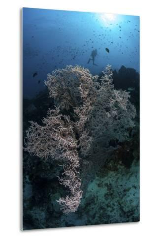 A Huge Gorgonian Grows on a Reef in Komodo National Park, Indonesia-Stocktrek Images-Metal Print