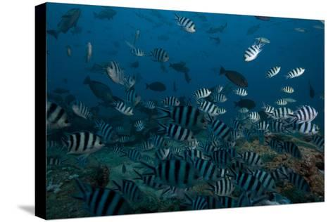 School of Sergeant Major Fish at the Bistro Dive Site in Fiji-Stocktrek Images-Stretched Canvas Print
