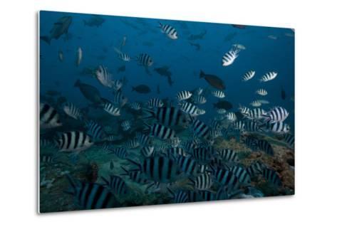 School of Sergeant Major Fish at the Bistro Dive Site in Fiji-Stocktrek Images-Metal Print