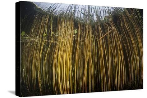 Colorful Reeds Grow to the Surface Along the Edge of a Freshwater Lake-Stocktrek Images-Stretched Canvas Print