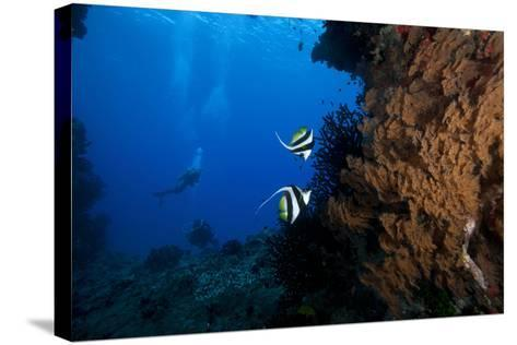 A Pair of Moorish Idols Dart for Cover When Divers Approach-Stocktrek Images-Stretched Canvas Print