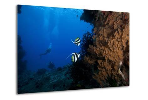 A Pair of Moorish Idols Dart for Cover When Divers Approach-Stocktrek Images-Metal Print