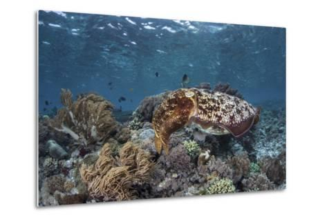 A Broadclub Cuttlefish Swims Above a Diverse Reef in Indonesia-Stocktrek Images-Metal Print