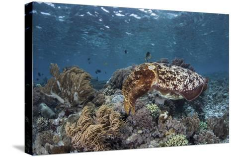 A Broadclub Cuttlefish Swims Above a Diverse Reef in Indonesia-Stocktrek Images-Stretched Canvas Print