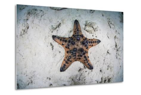 A Colorful Chocolate Chip Sea Star on the Seafloor of Indonesia-Stocktrek Images-Metal Print