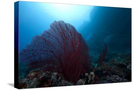 Large Red Gorgonian Sea Fan on a Fijian Reef-Stocktrek Images-Stretched Canvas Print