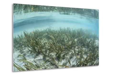A Sea Grass Meadow Grows in the Shallow Water of Raja Ampat-Stocktrek Images-Metal Print