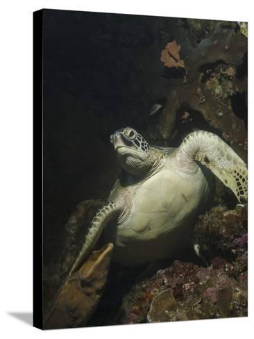 Green Turtle, Bunaken Marine Park, Indonesia-Stocktrek Images-Stretched Canvas Print