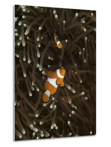 A Pair of Anemonefish in its Host Anemone, Manado, Indonesia-Stocktrek Images-Metal Print
