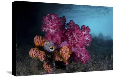 A Soft Coral Colony and Invertebrates in Raja Ampat, Indonesia-Stocktrek Images-Stretched Canvas Print