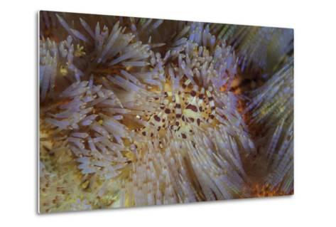 A Pair of Coleman's Shrimp Live Among the Venomous Spines of a Fire Urchin-Stocktrek Images-Metal Print
