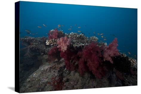 Soft Coral on a Fijian Reef-Stocktrek Images-Stretched Canvas Print