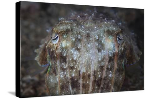 Close-Up Front View of a Broadclub Cuttlefish-Stocktrek Images-Stretched Canvas Print