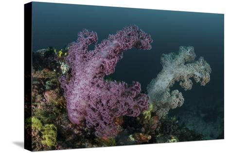 A Soft Coral Colony Grows on a Reef Slope in Indonesia-Stocktrek Images-Stretched Canvas Print
