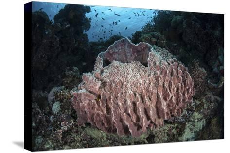 A Massive Barrel Sponge Grows N the Solomon Islands-Stocktrek Images-Stretched Canvas Print