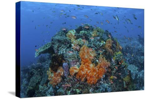A Current Sweeps across a Colorful Coral Reef in Indonesia-Stocktrek Images-Stretched Canvas Print