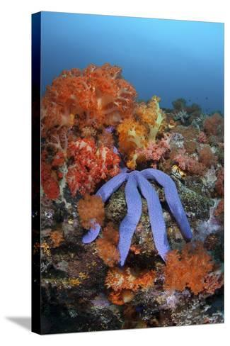 A Beautiful Starfish Lays on a Thriving Reef in Indonesia-Stocktrek Images-Stretched Canvas Print