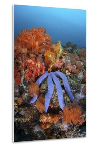 A Beautiful Starfish Lays on a Thriving Reef in Indonesia-Stocktrek Images-Metal Print