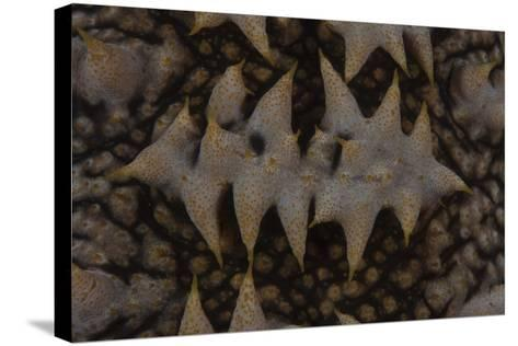 Close-Up Pattern of a Giant Sea Cucumber-Stocktrek Images-Stretched Canvas Print