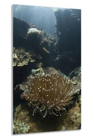 A Heliofungia Coral Colony Grows on a Reef Inside Palau's Lagoon-Stocktrek Images-Metal Print