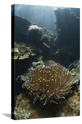 A Heliofungia Coral Colony Grows on a Reef Inside Palau's Lagoon-Stocktrek Images-Stretched Canvas Print