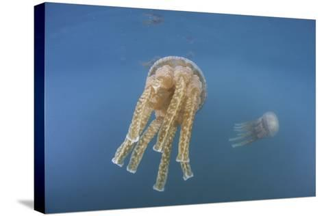Golden Jellyfish, Raja Ampat, Indonesia-Stocktrek Images-Stretched Canvas Print