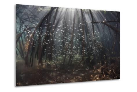 Beams of Sunlight Filter Among the Prop Roots of a Mangrove Forest-Stocktrek Images-Metal Print