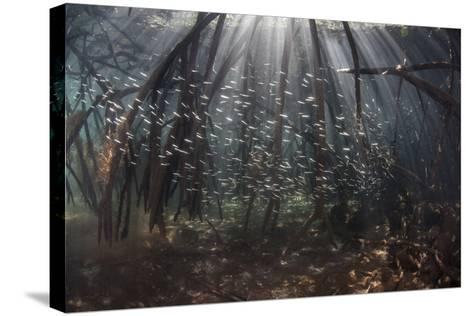 Beams of Sunlight Filter Among the Prop Roots of a Mangrove Forest-Stocktrek Images-Stretched Canvas Print