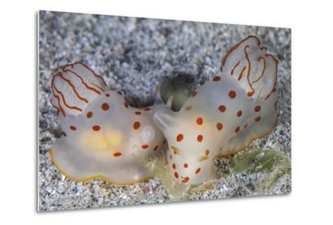 A Pair of Ceylon Nudibranchs Mating on a Sandy Slope-Stocktrek Images-Metal Print