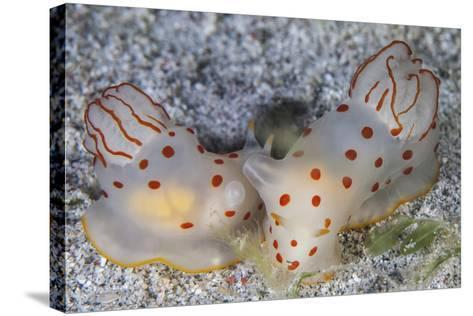 A Pair of Ceylon Nudibranchs Mating on a Sandy Slope-Stocktrek Images-Stretched Canvas Print