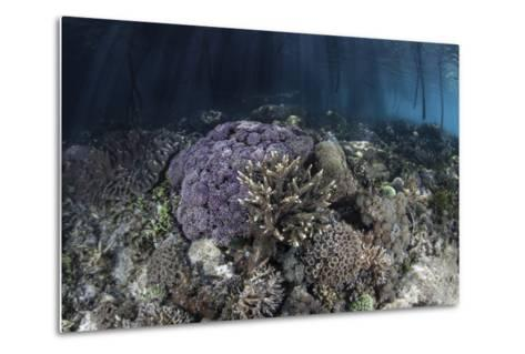 Corals Grow Along the Edge of a Mangrove Forest in Raja Ampat-Stocktrek Images-Metal Print