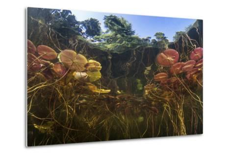 Young Lily Pads Grow to the Surface Along the Edge of a Freshwater Lake-Stocktrek Images-Metal Print