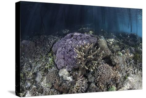 Corals Grow Along the Edge of a Mangrove Forest in Raja Ampat-Stocktrek Images-Stretched Canvas Print