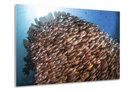 School of Golden Sweepers in Komodo National Park, Indonesia-Stocktrek Images-Metal Print