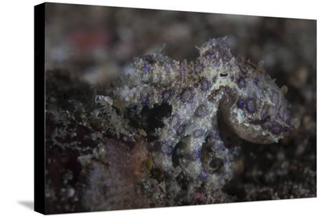 A Blue-Ringed Octopus Lings to the Seafloor in Lembeh Strait, Indonesia-Stocktrek Images-Stretched Canvas Print