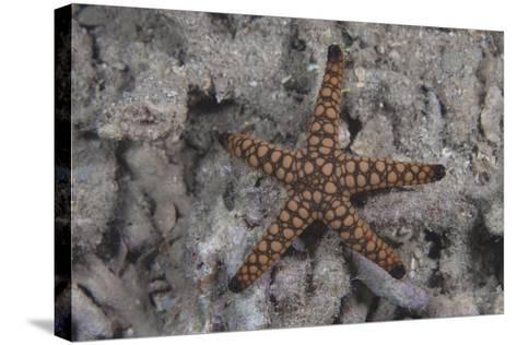Close-Up of a Sea Star, Beqa Lagoon Fiji-Stocktrek Images-Stretched Canvas Print