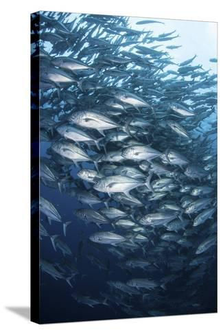 Schooling Bigeye Jacks Swim in the Depths of the Pacific Ocean-Stocktrek Images-Stretched Canvas Print