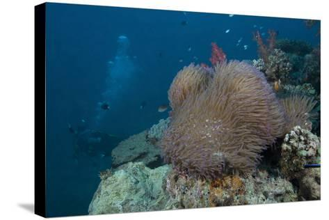 Diver Swims Past a Large Sea Anenome on a Fijian Reef-Stocktrek Images-Stretched Canvas Print