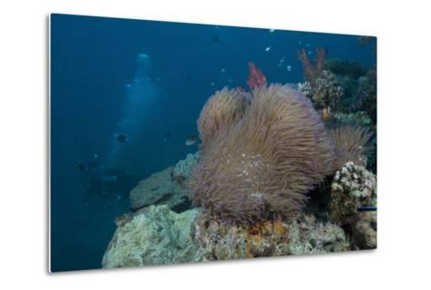 Diver Swims Past a Large Sea Anenome on a Fijian Reef-Stocktrek Images-Metal Print