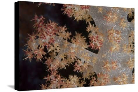 Close-Up of Tree Coral on a Fijian Reef-Stocktrek Images-Stretched Canvas Print