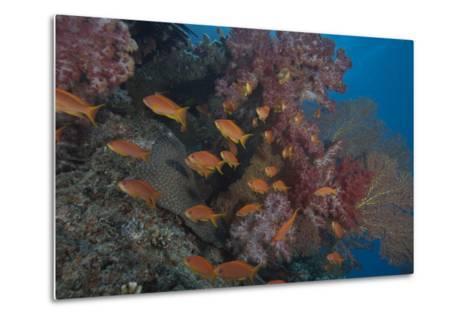 Scalefin Anthias Fish in Beqa Lagoon, Fiji-Stocktrek Images-Metal Print